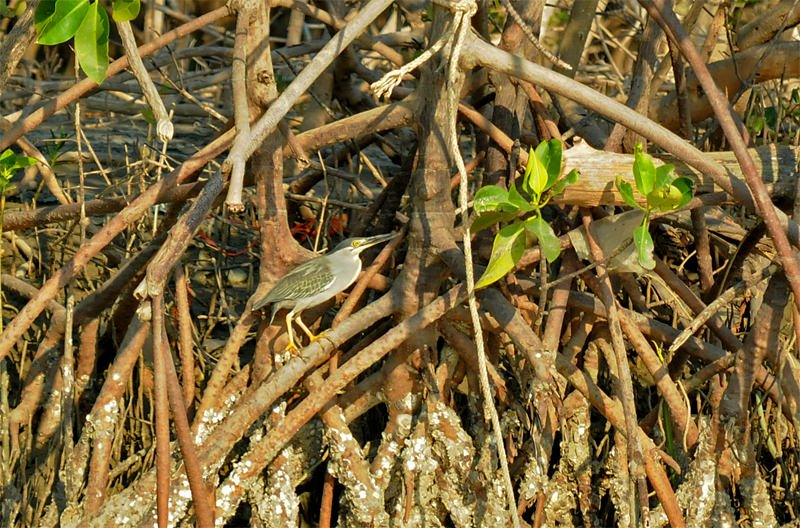 Wildlife watching in Khao Sam Roy Yot - Little heron
