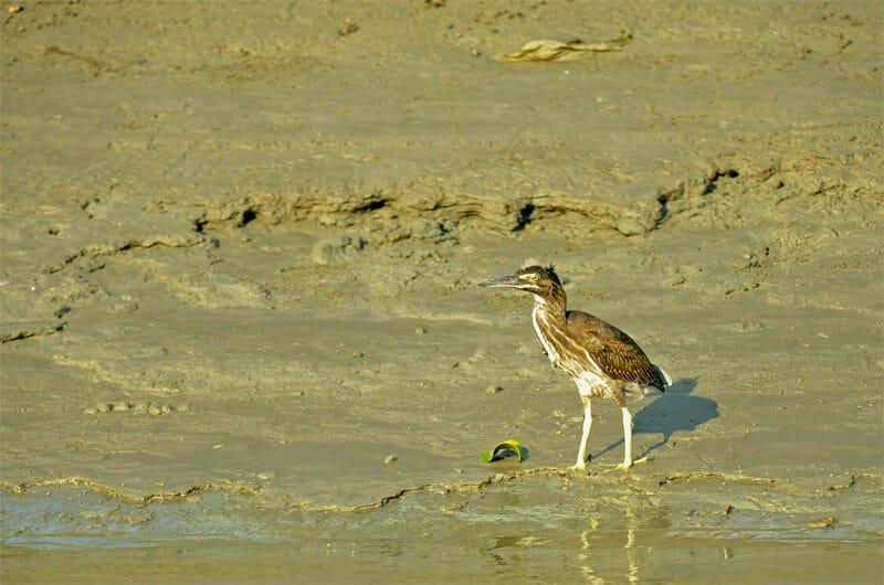 Wildlife watching in Khao Sam Roy Yot - Immature little heron