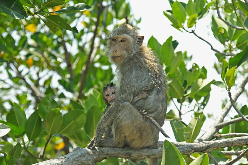 Wildlife watching in Khao Sam Roy Yot - Crab-eating macaque with young