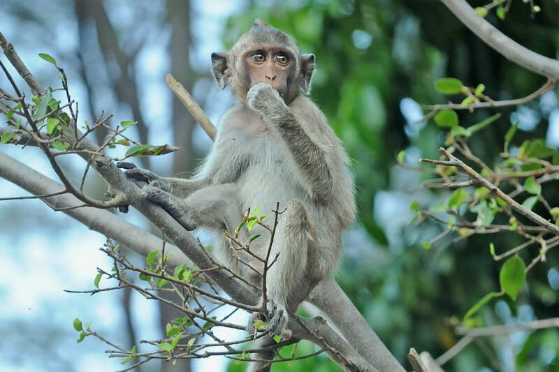 Wildlife watching in Khao Sam Roy Yot - Crab-eating or Long-tailed macaque