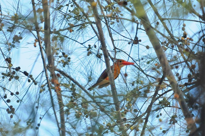 Wildlife watching in Khao Sam Roy Yot - Oriental dwarf kingfisher