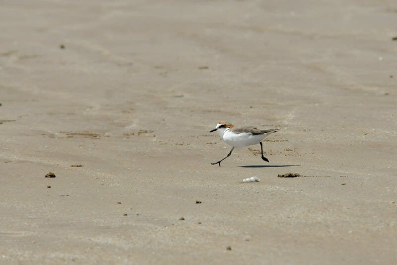 Red-capped plover trying to stay unpredictable