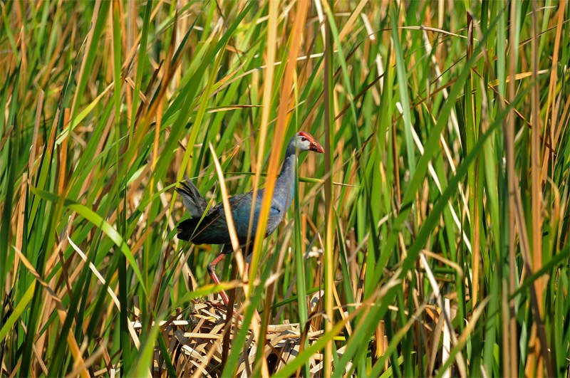 Wildlife watching in Khao Sam Roy Yot - Purple swamphen
