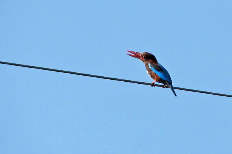 Wildlife watching in Khao Sam Roy Yot - White-throated kingfisher