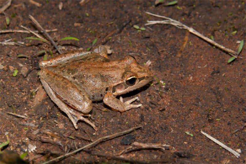 Broad-palmed rocket frog