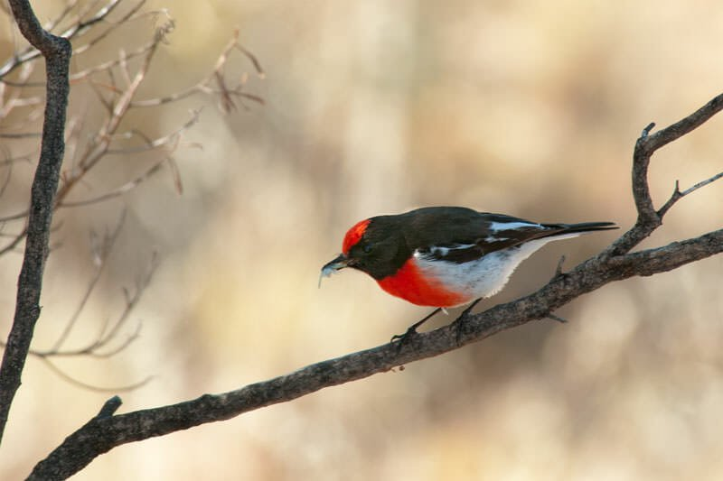 birds of flinders ranges - red-capped robin