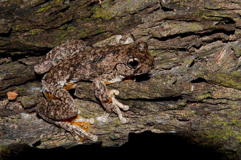 Perron's tree frog