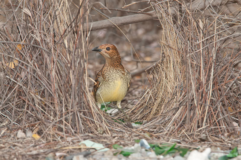 Spotted bowerbird at his bower