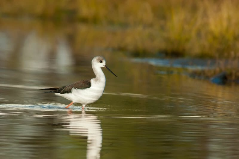 Young black-winged stilt