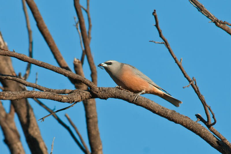Birds of Australian Outback - White-browed woodswallow