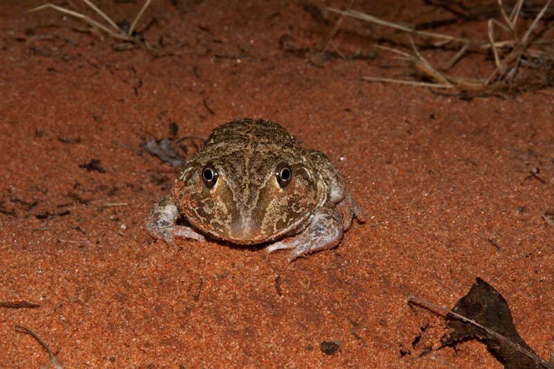 Giant burrowing or Wide-mothed frog