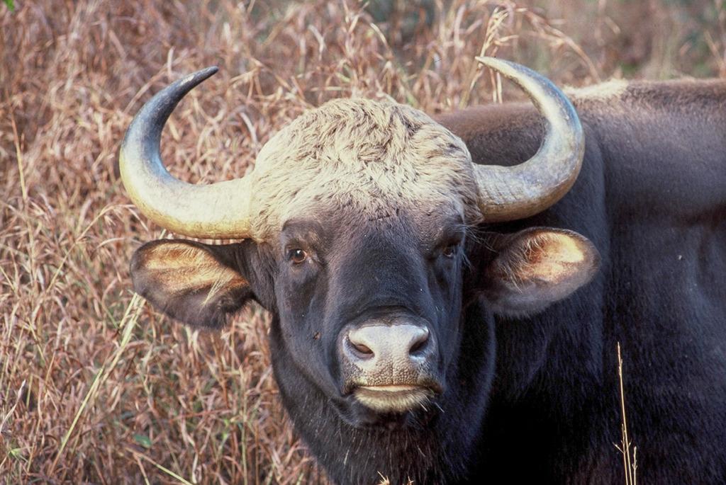 Kanha safari - gaur