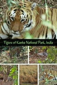 Tigers of Kanha National Park, India #tiger #indiawildlife #wildlifetravel #bigcat.