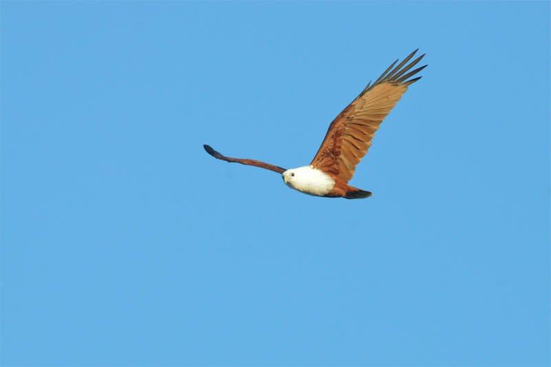 Brahmini kite