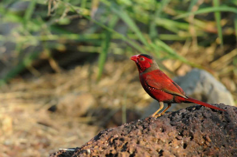Crimson finch in Darwin Botanic Gardens