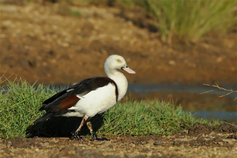 Rajah shell-duck