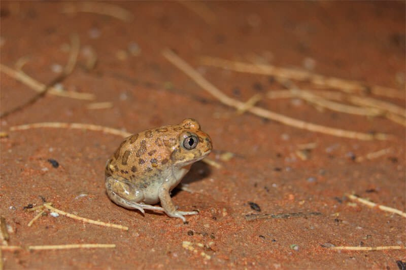 Australian desert animals - Spencer's burrowing frog