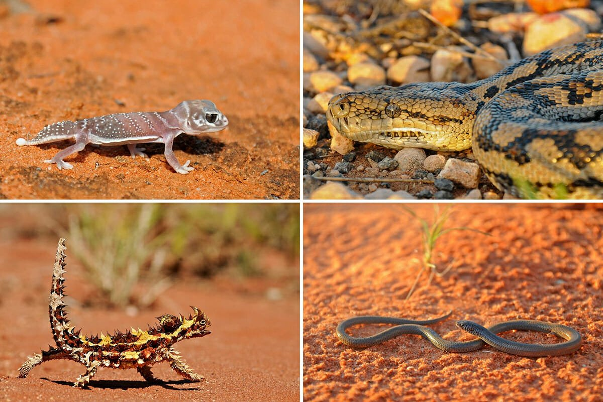 Australian Reptiles in the Arid Outback