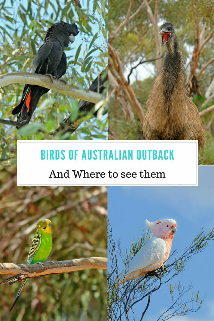 Birds of Australian Outback. From the colourful parrots to the giant emus to eagles and owls the world of Birds of Australian Outback is as diverse as it is unique. #birdsofaustralia #outbacktravel #australianoutback #australianparrots #parrots
