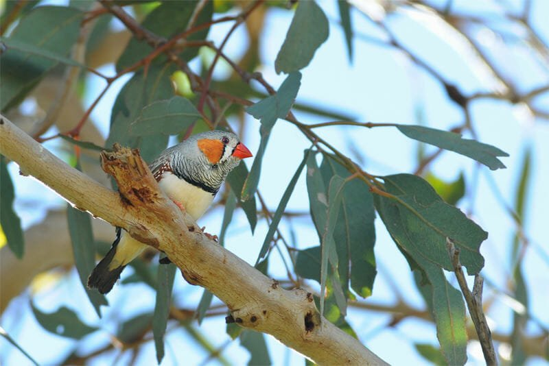 Wildlife of Old Andado - Zebra finch