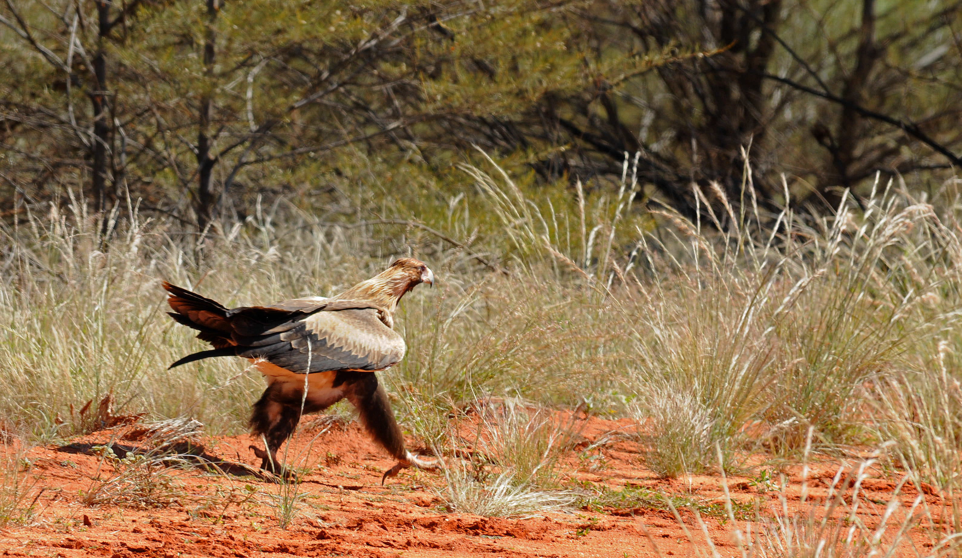 Wildlife of Old Andado - Wedge-tail eagle