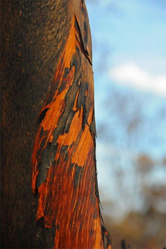 Burned eucalypt