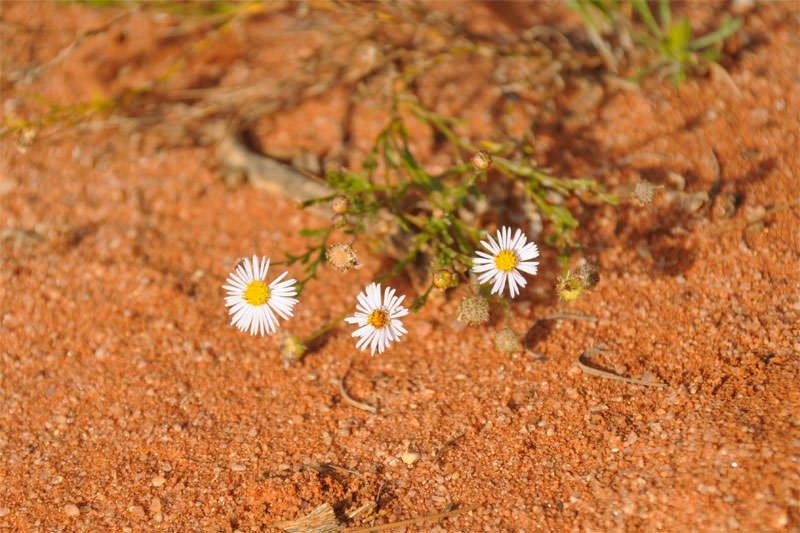 Australian safari - desert flower