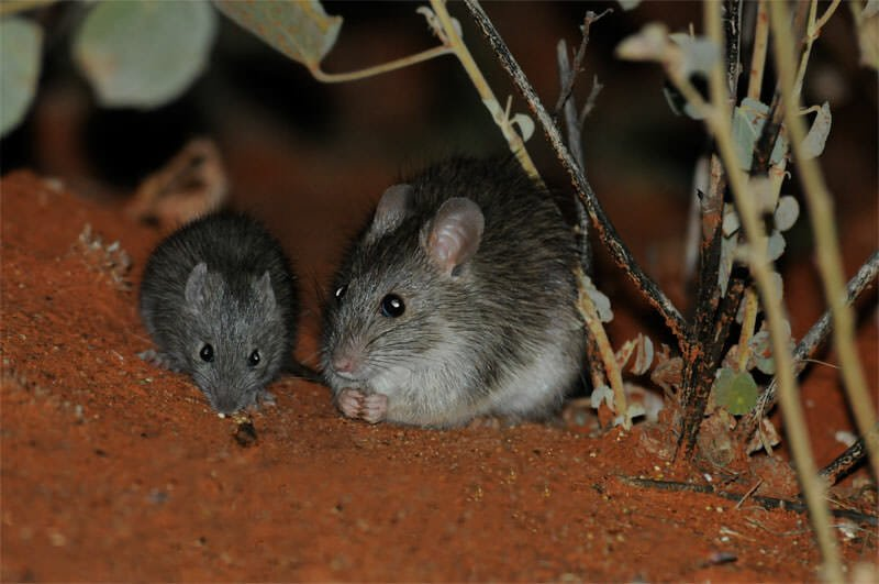 Australian desert animals - Long-haired rat female and young