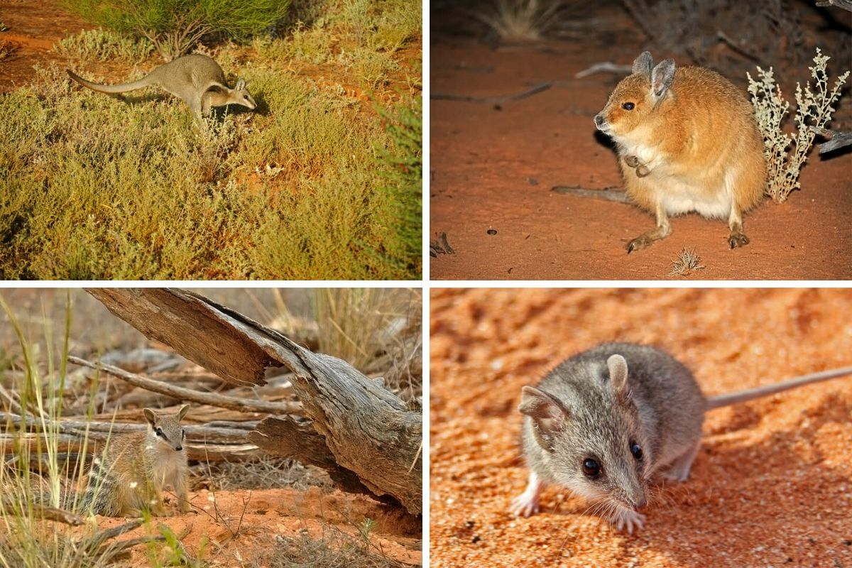 mammals of Australian outback