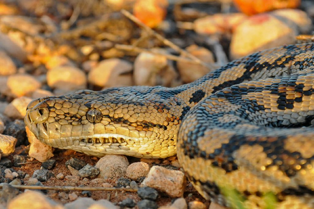 Murray Darling Python