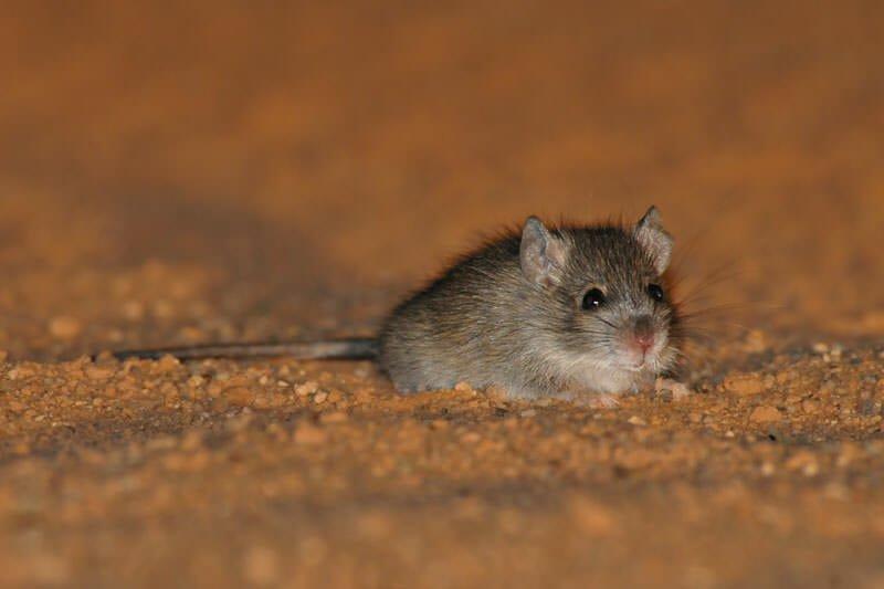 Australian desert animals - Desert mouse