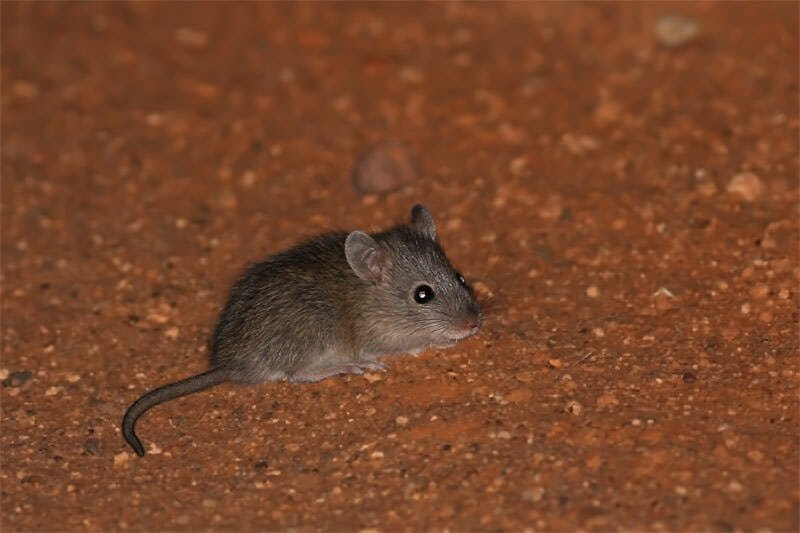 Wildlife of Old Andado - Desert mouse in the head lights