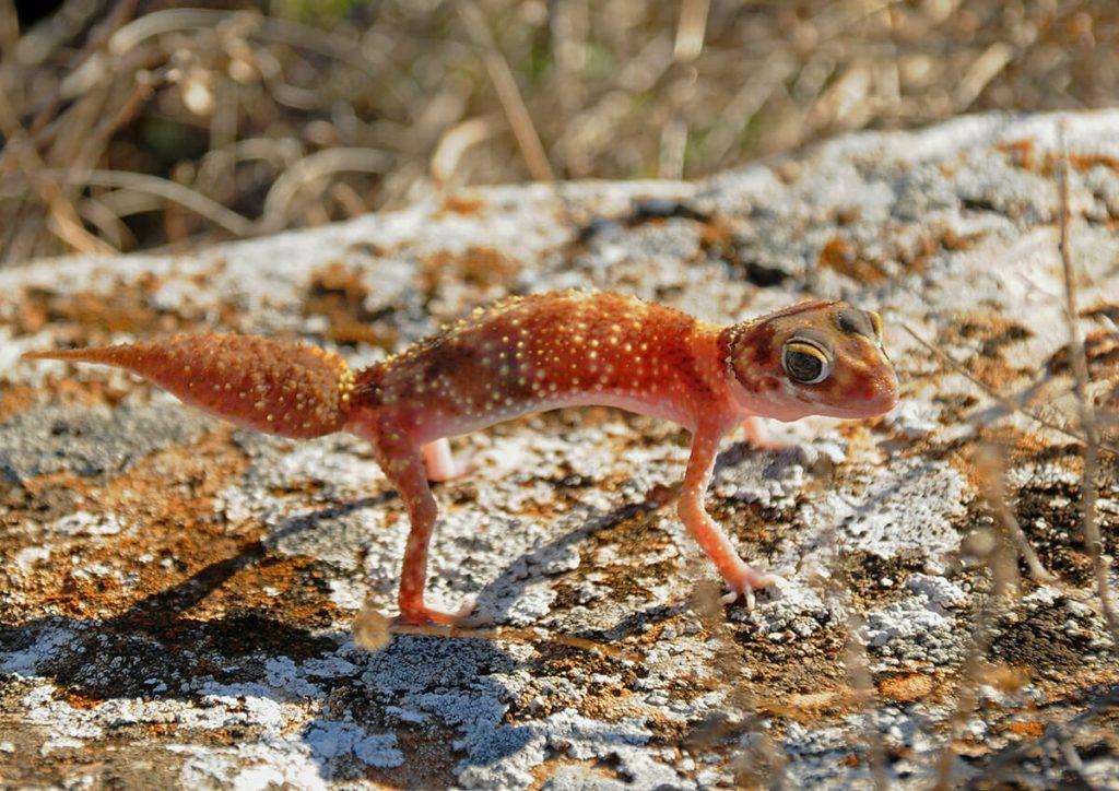 Australian geckos - Barking gecko