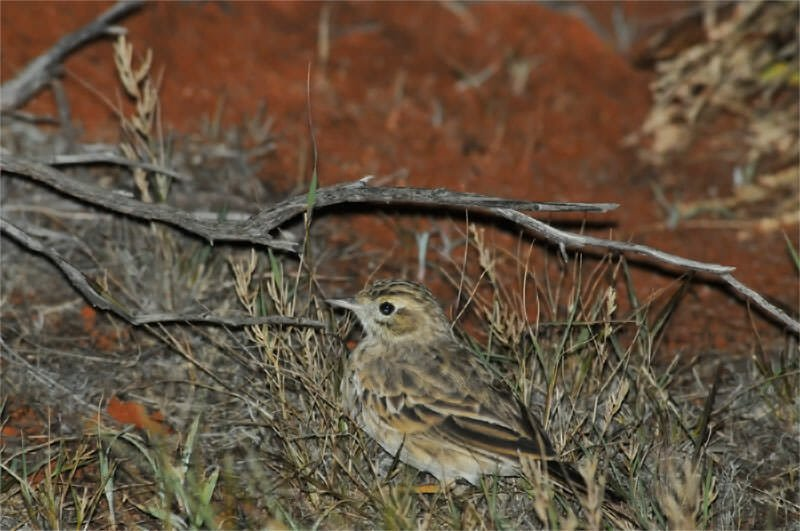 Wildlife of Old Andado - Brown songlark