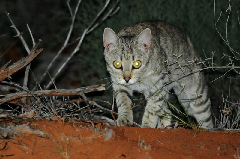 Wildlife of Old Andado - feral Cat