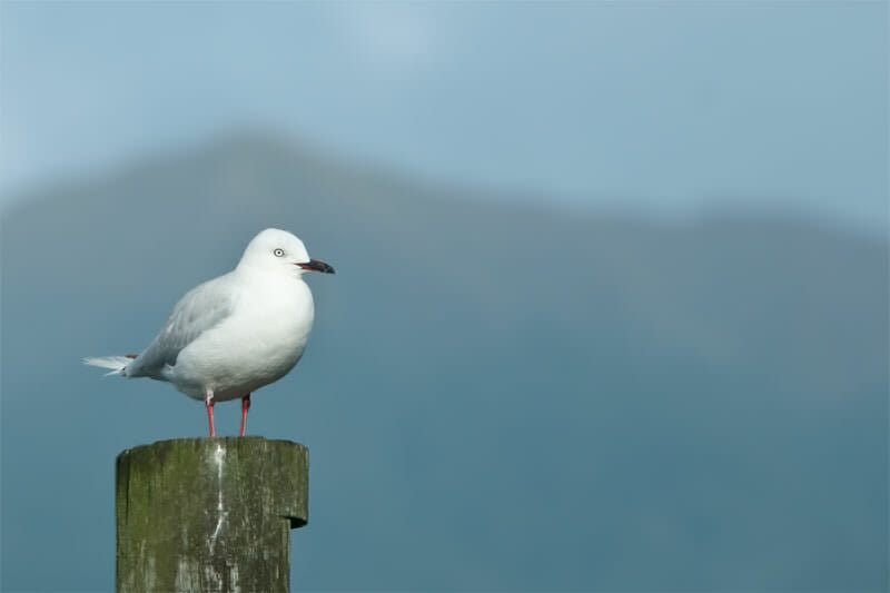 Blaci-billed gull