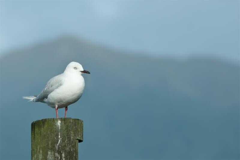 Black-billed gull on lake Te Anau