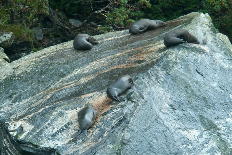 New Zealand fur seals - Optimal chill out