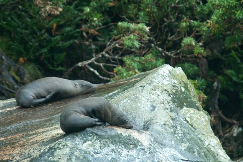 New Zealand fur seals snoozing at Milford Sound