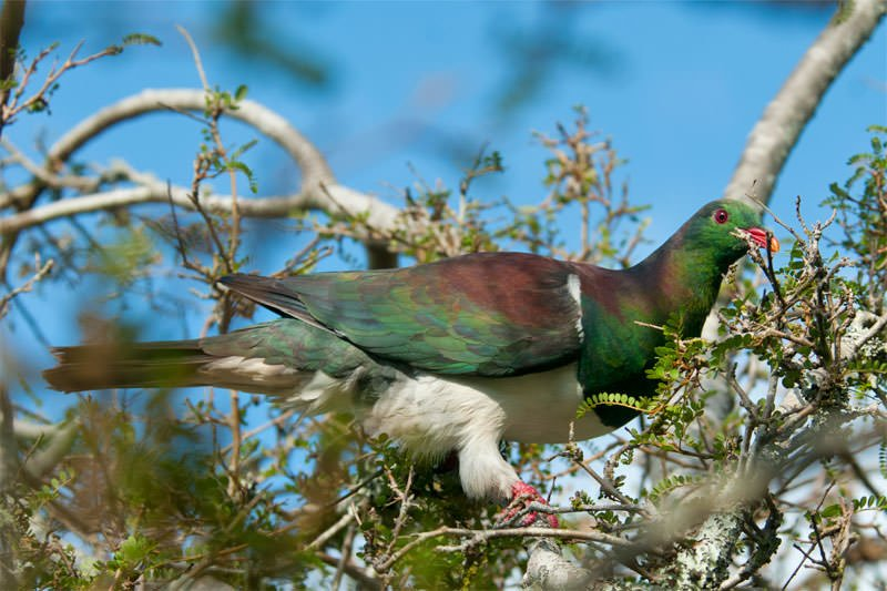 New Zealand pigeon in Fox Glacier town
