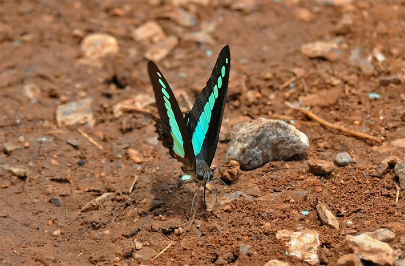 Butterflies of Thailand - Common Jay