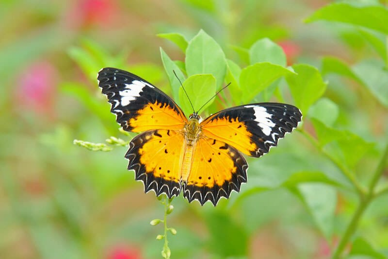Butterflies of Thailand - Lacewing