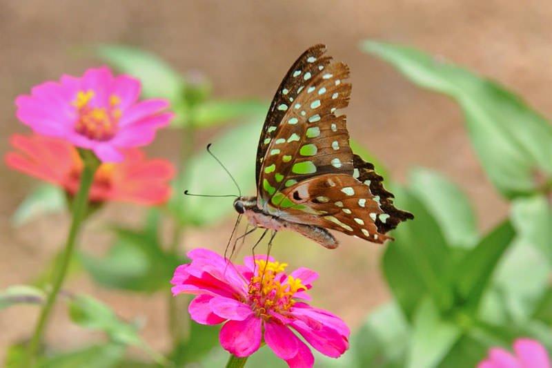 Butterflies of Thailand - Green Dragontail