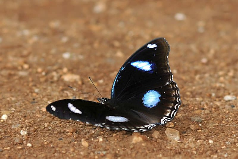 Butterflies of Thailand - The great eggfly