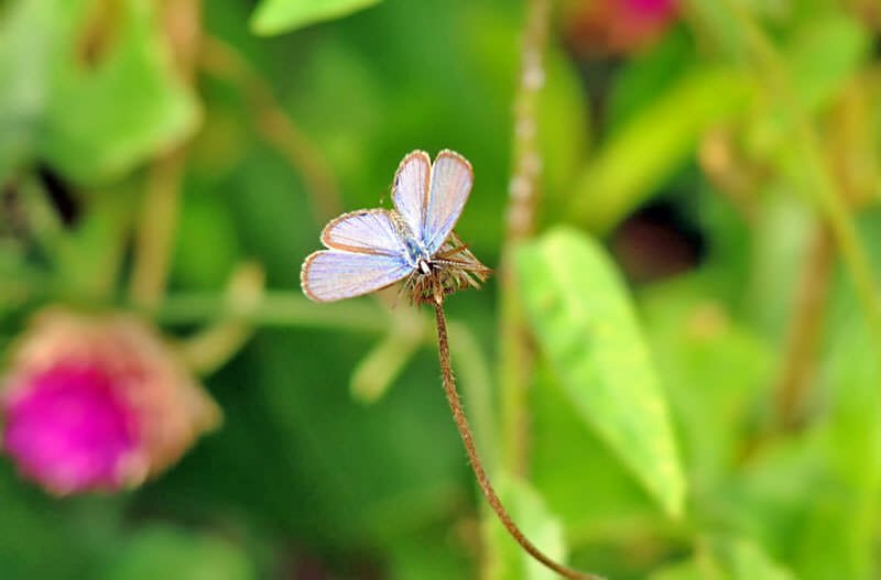 Butterflies of Thailand - Lime blue