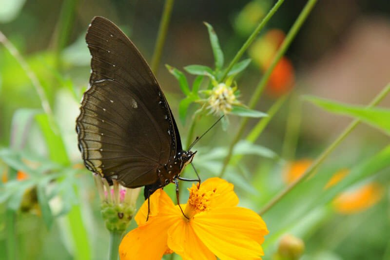 Butterflies of Thailand - The Great crow