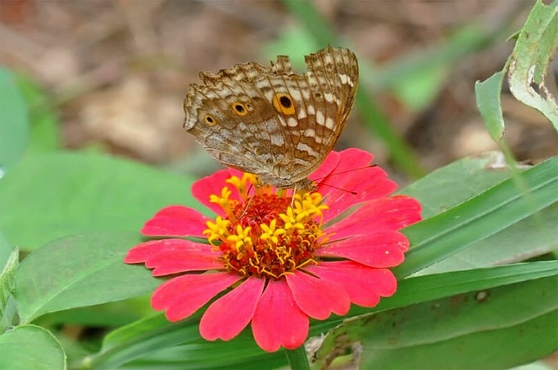 Butterflies of Thailand - Lemon pansy