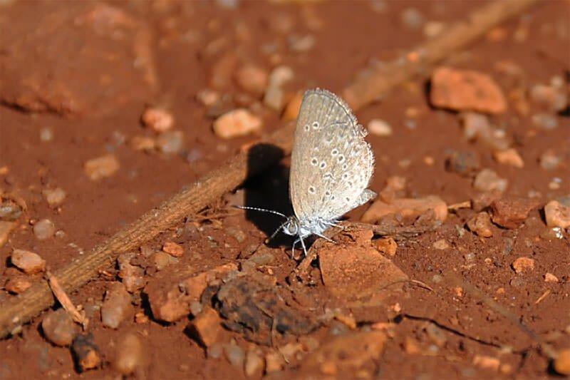 Butterflies of Thailand - Hedge cupid