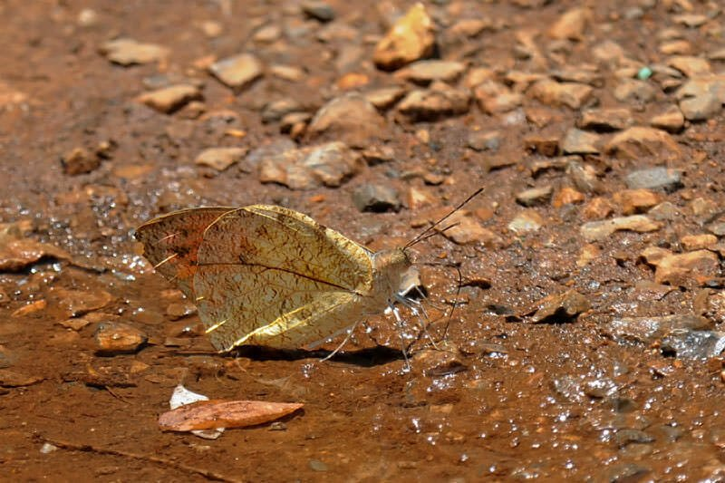 Butterflies of Thailand - The Great orange tip