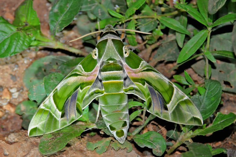 Moths of Thailand - Oleaander hawkmoth
